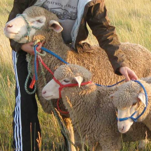 Sports Girl briefly reunites the mama white-faced sheep with her two lambs during an evening walk before the fair in August. The lambs were weaned and therefore separated from their mama in early June.