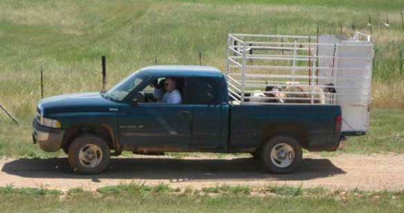 Handsome Hubby transports the sheep from the ranch to the fair using a rack in back of his pickup.