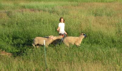 Horse Lover helped halter break the lambs this summer. I think walking the sheep is her favorite part of showing.